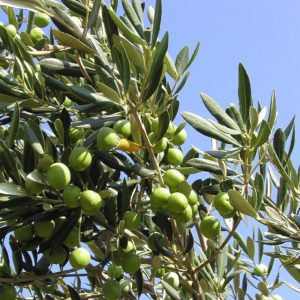 olive oil for frying or cooking