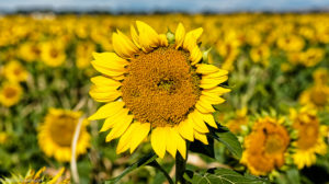 sunflower oil for cooking and frying